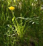 明亮的夏天太阳的照片一朵孤立黄色花-蒲公英 免版税库存照片