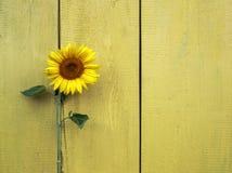 明亮的夏天花向日葵黄色背景在老woode的 库存照片