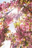 明亮的天桃红色花进展的春天Fla 4月五颜六色的太阳 免版税库存图片