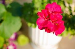明亮的天竺葵装饰围场 免版税图库摄影