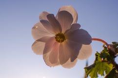 明亮的天竺葵装饰围场 库存图片