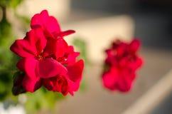 明亮的天竺葵装饰围场 免版税库存照片