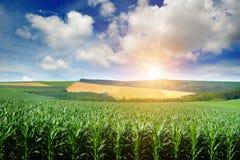 明亮的太阳升起在玉米的领域 免版税库存图片