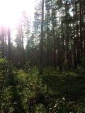 明亮的太阳在杉木森林乌拉尔,俄罗斯里 图库摄影