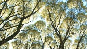 明亮的太阳通过树枝发光 从下面对与美丽的黄色叶子的树梢秋天和天空蔚蓝 股票录像