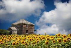 明亮的开花的向日葵的领域由一个老木屋的 库存照片