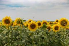 明亮的开花的向日葵草甸 与绿色叶子特写镜头的黄色向日葵 域l向日葵 图库摄影