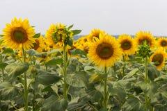 明亮的开花的向日葵草甸 与绿色叶子特写镜头的黄色向日葵 域l向日葵 免版税库存图片