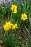 明亮的开花的黄水仙和穆斯卡里边界在花园里 库存照片