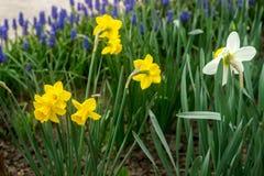 明亮的开花的黄水仙和穆斯卡里边界在花园里 免版税库存照片