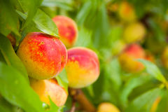 明亮的成熟桃子 免版税图库摄影