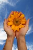 明亮的新鲜的天空向日葵 免版税库存照片