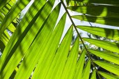 明亮的新鲜的棕榈树离开,宏观照片 免版税库存照片