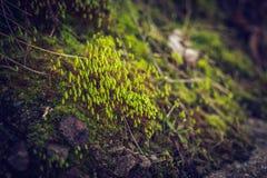 明亮的新鲜的水多的春天青苔 库存图片