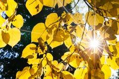 明亮的旭日形首饰通过黄色菩提树在秋天离开 图库摄影