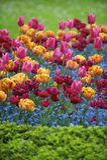 明亮的春天开花五颜六色的桃红色橙色洋红色郁金香装饰庭院 库存图片