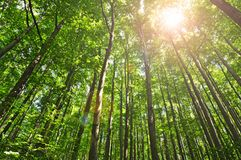 明亮的林木在夏天 库存照片