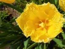 明亮的柠檬黄色的郁金香 免版税图库摄影