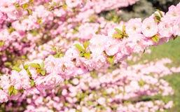 明亮的桃子桃红色在春天庭院里开花 免版税库存图片
