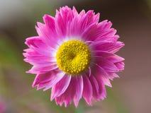 明亮的桃红色和黄色永恒野花 免版税库存照片