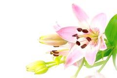 明亮的桃红色在白色隔绝的百合花、开花和芽 库存照片