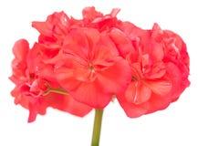 明亮的桃红色大竺葵 库存照片