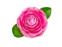 明亮的桃红色山茶花玫瑰色形式花花 图库摄影