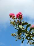 明亮的桃红色开花的树分支引人注意反对蓝天 库存图片