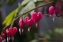 明亮的桃红色心脏花 免版税图库摄影