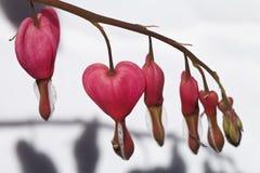 明亮的桃红色心脏花 库存照片