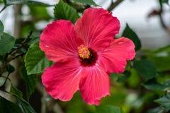 明亮的桃红色木槿 免版税库存图片