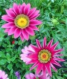 明亮的桃红色杂色菊属植物花 免版税库存照片