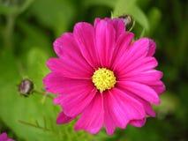 明亮的桃红色波斯菊花 库存图片