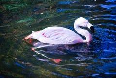 明亮的桃红色火鸟游泳在池塘 免版税库存图片