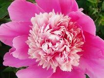 明亮的桃红色牡丹瓣特写镜头 库存图片