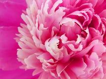 明亮的桃红色牡丹瓣特写镜头 免版税库存照片
