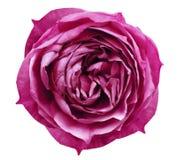 明亮的桃红色玫瑰花白色隔绝了与裁减路线的背景 为设计,纹理,背景,框架,封皮开花 分类 免版税库存图片