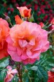 明亮的桃红色玫瑰豪华的灌木在自然背景的  在葡萄酒样式的花Garden.vector花卉背景 库存图片