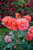 明亮的桃红色玫瑰豪华的灌木在自然背景的  在葡萄酒样式的花Garden.vector花卉背景 免版税库存照片