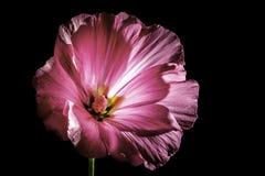 明亮的桃红色由后照的花 库存图片