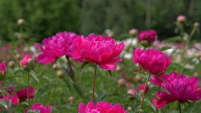 明亮的桃红色红色牡丹特写镜头在开花领域开花 股票视频