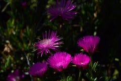 明亮的桃红色花在晚上 库存照片