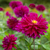 明亮的桃红色花开花的大丽花 免版税库存图片