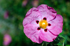 明亮的桃红色花 免版税库存照片
