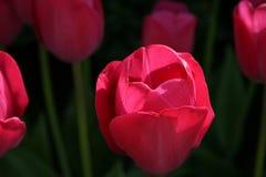 明亮的桃红色郁金香在庭院里 库存图片
