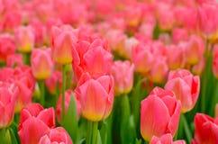 明亮的桃红色郁金香的领域 免版税库存照片