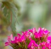 明亮的桃红色颜色花 免版税图库摄影