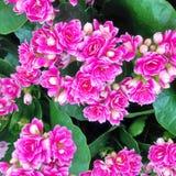 明亮的桃红色Kalanchoe开花植物 库存图片