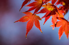 明亮的槭树叶子 免版税图库摄影