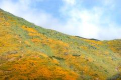 明亮的橙色充满活力的生动的金黄花菱草,在绽放,惊人的山坡的季节性春天本地植物野花 免版税库存照片